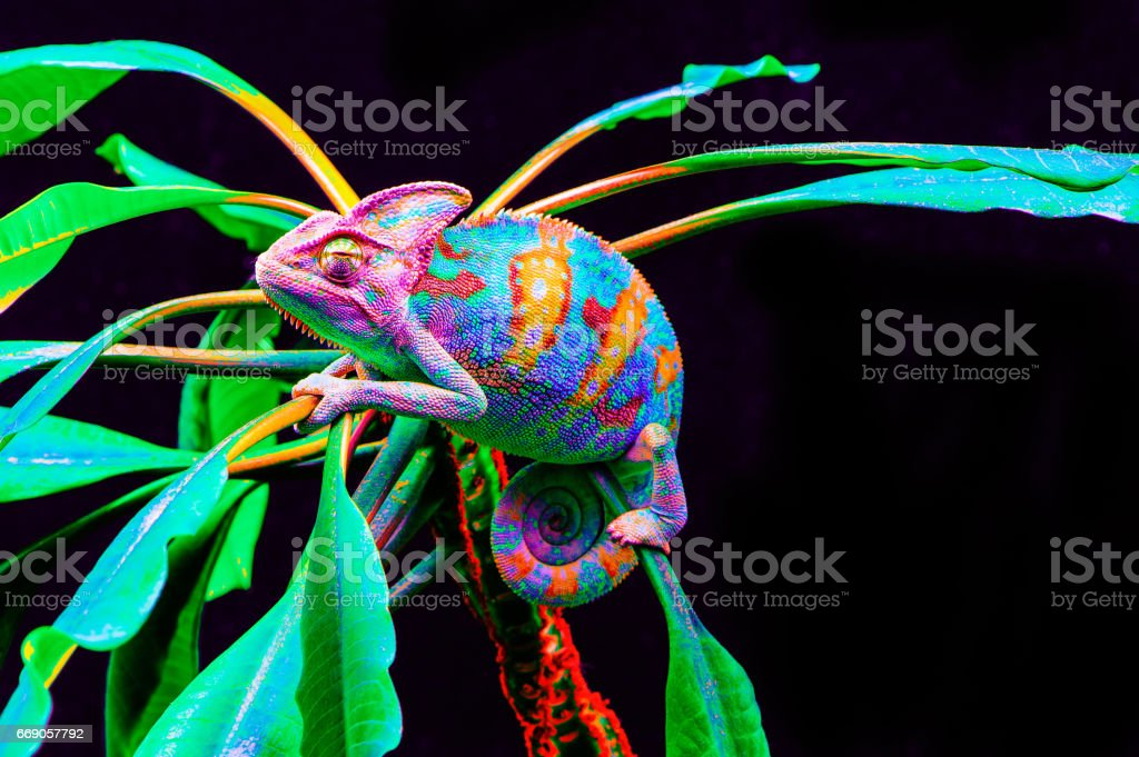 Yemen chameleon isolated on black background stock photo