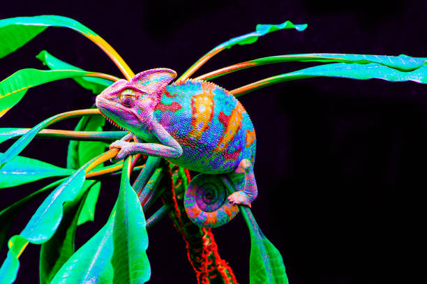 yemen chameleon isolated on black background - kameleon zdjęcia i obrazy z banku zdjęć
