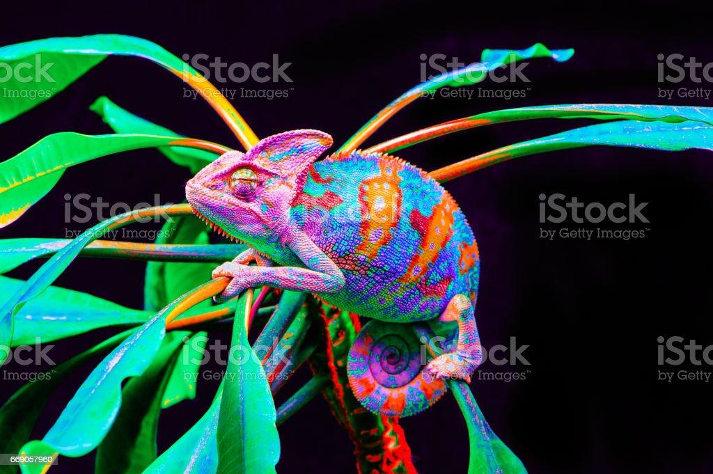 Yemen chameleon isolated on black background stock photo