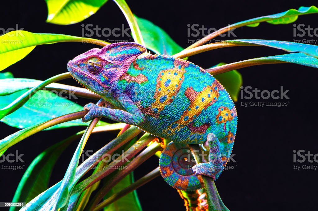 Yemen chameleon isolated on black background Yemen chameleon isolated on black large background.Lizard on the green leaves.skin has a bright color Animal Stock Photo