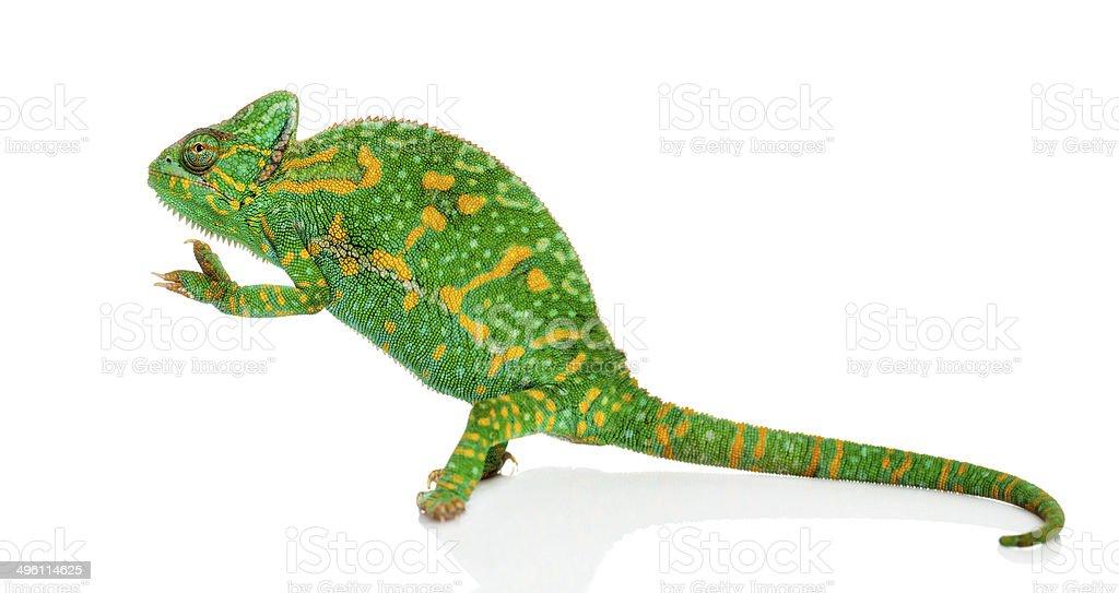 Yemen chameleon on hind legs - Chamaeleo calyptratus stock photo