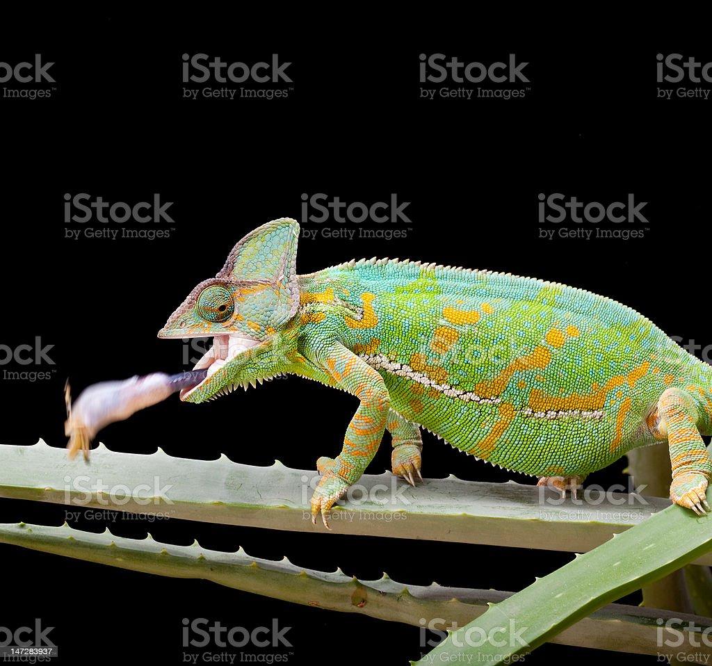 Yemen Chameleon royalty-free stock photo