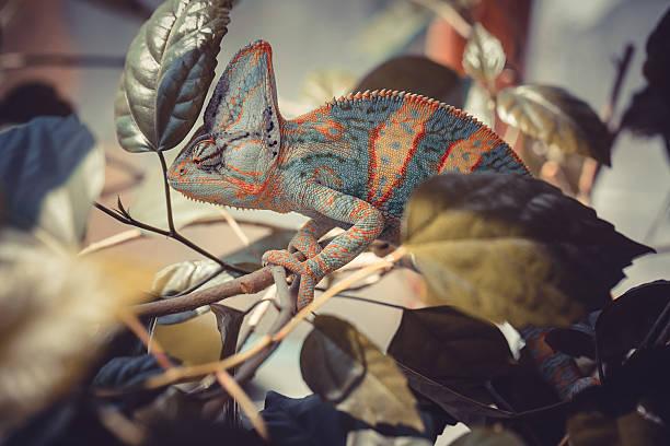 jemen chameleon - kameleon zdjęcia i obrazy z banku zdjęć
