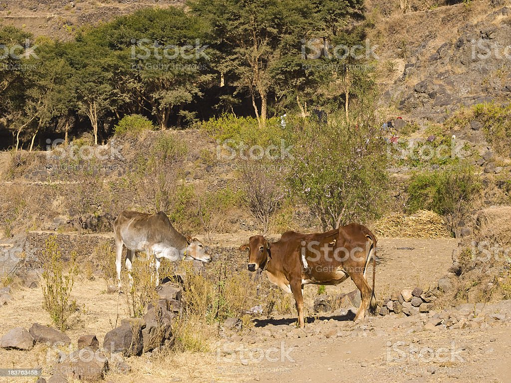Yemen cows stock photo