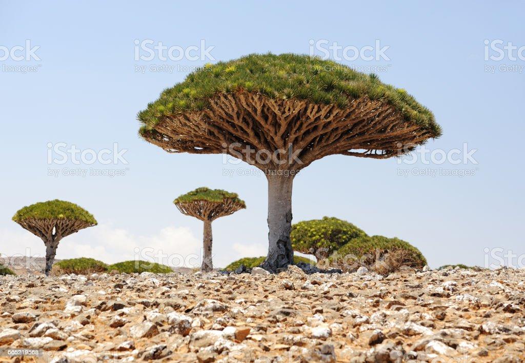 Yemen. Socotra island. Dragon tree. Dracaena cinnabari stock photo