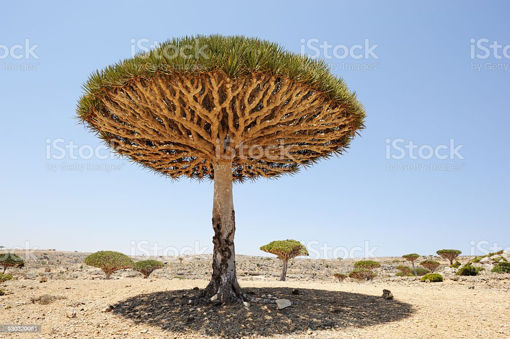Yemen. Socotra island. Dragon tree stock photo