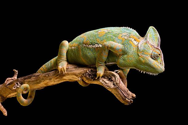 jemen/kameleon jemeński - kameleon zdjęcia i obrazy z banku zdjęć
