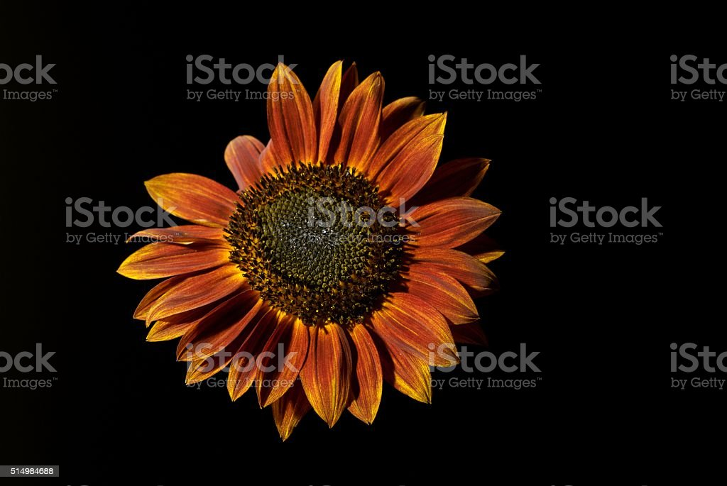 yes yes you are pretty little sunflower, yes you are stock photo