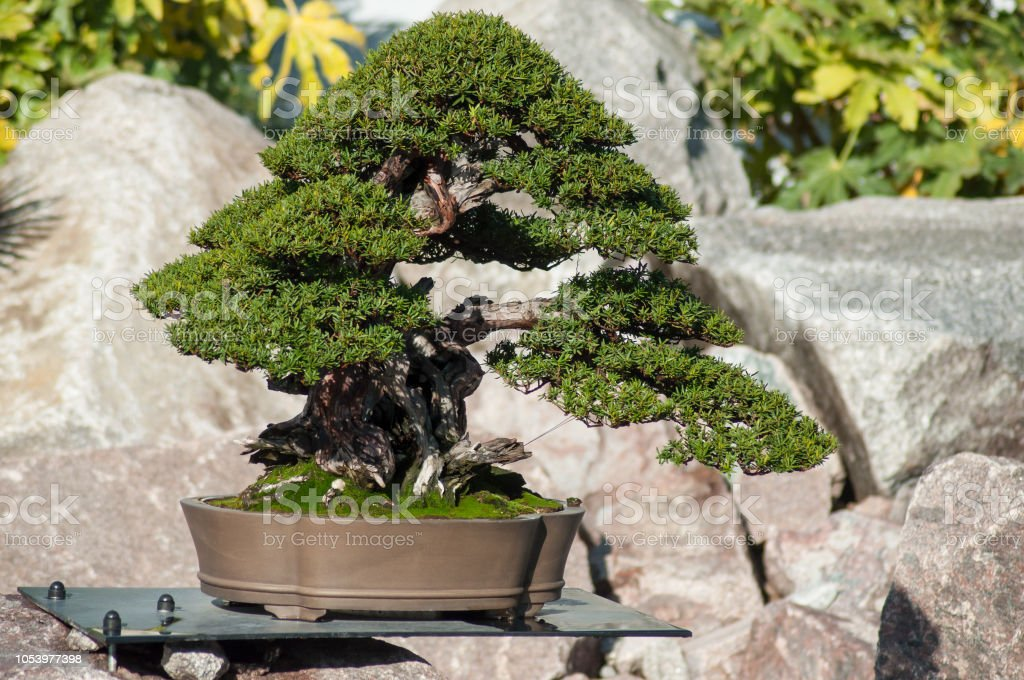 Yew Bonsai In A Japanese Garden Stock Photo Download Image Now