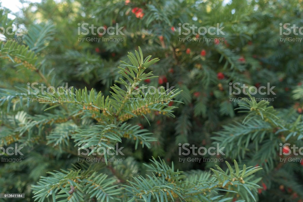 Yew branches with male and female cones in autumn stock photo
