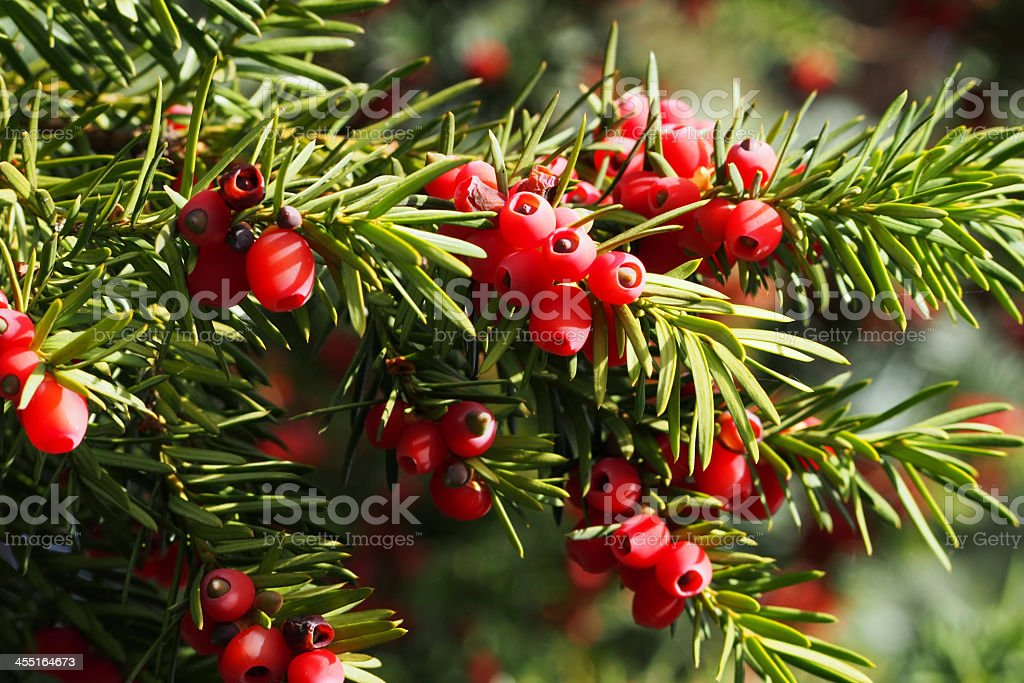 A yew bush with bright red berries stock photo