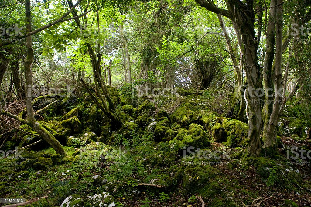 Yew Forest. stock photo