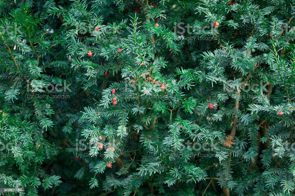 Yew hedge stock photo