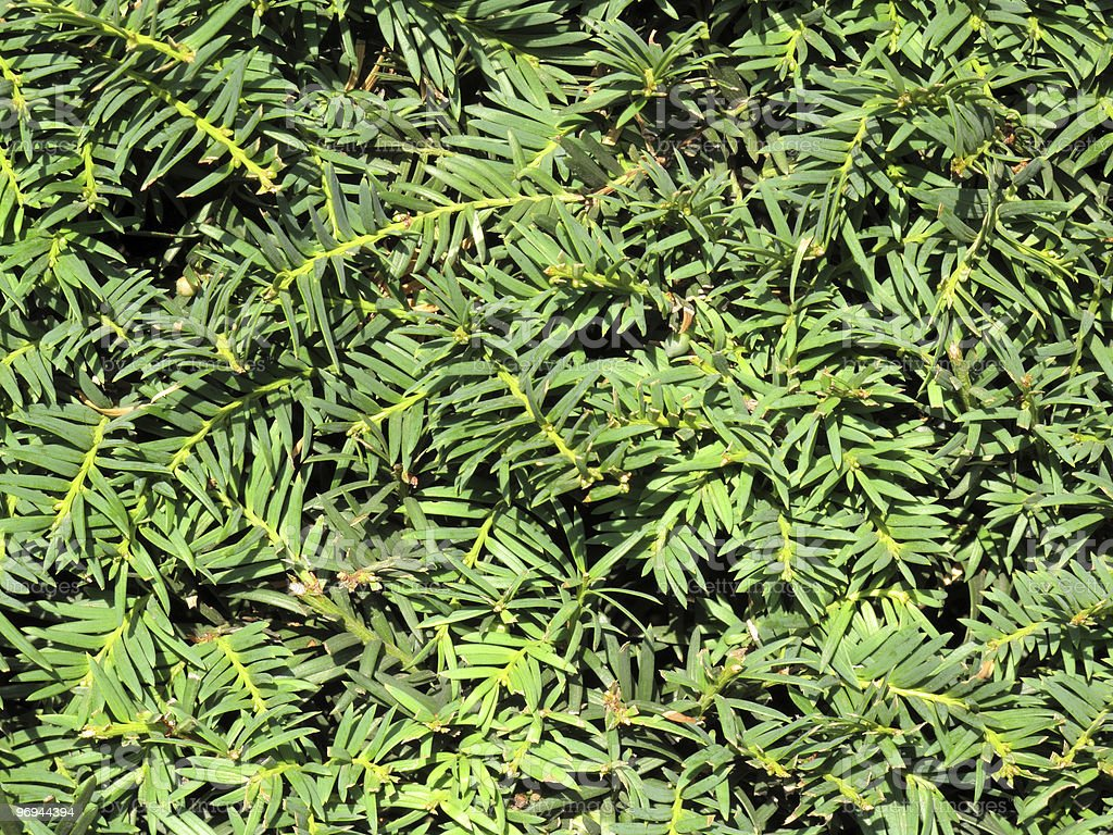 Yew Hedge royalty-free stock photo