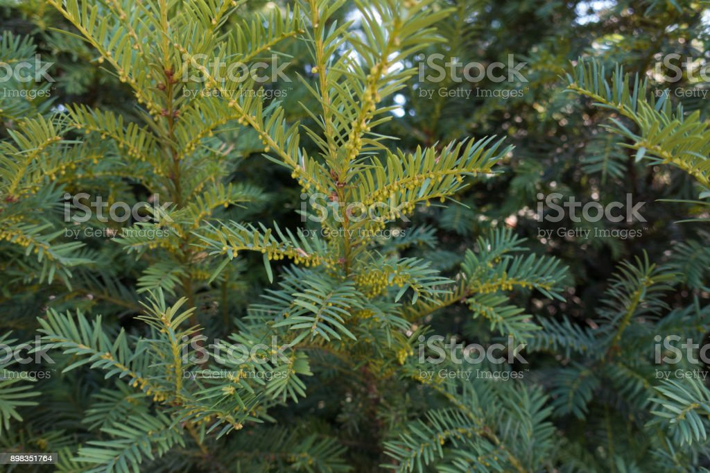 Yew tree branches with immature male cones stock photo
