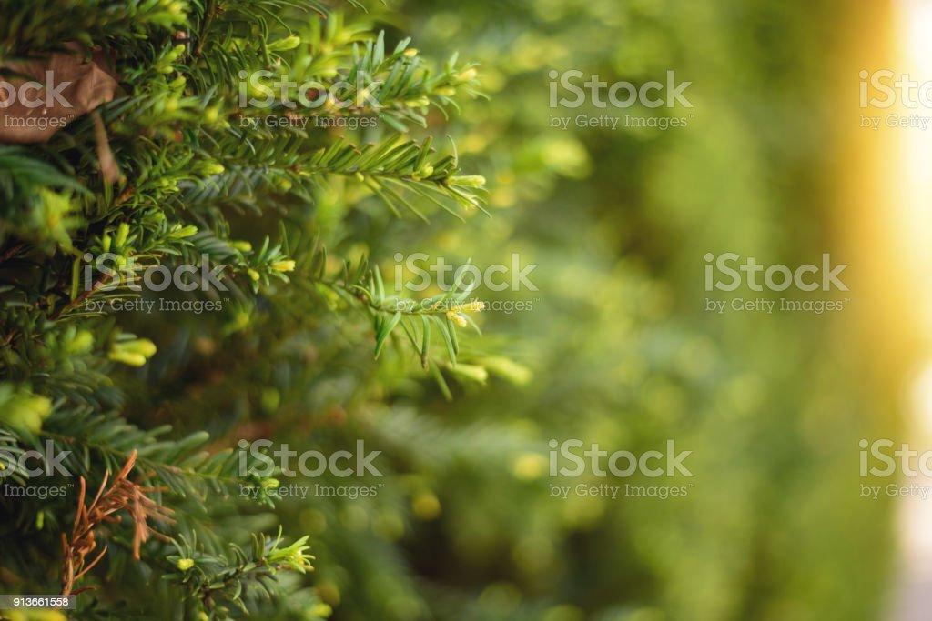Yew Tree In Spring stock photo
