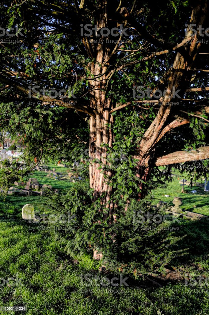 Yew tree Taxus baccata in old churchyard stock photo
