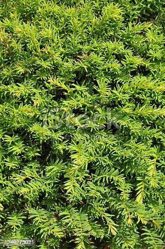 Grüner Hintergrund, eine Eibenhecke