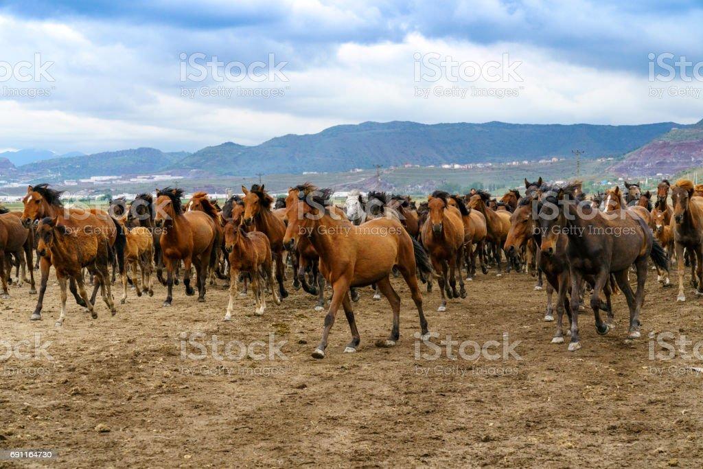 Yilki horses crossing on nature in Cappadocia, Turkey stock photo