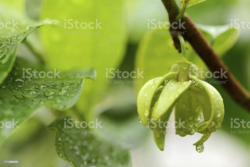Ylang Flowers Artabotrys Siamensis, Thai Flower (Gadung Nga) stock photo
