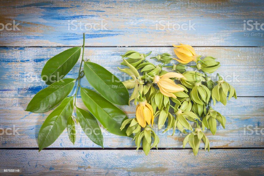 Ylang Ylang Blume und Blatt – Foto