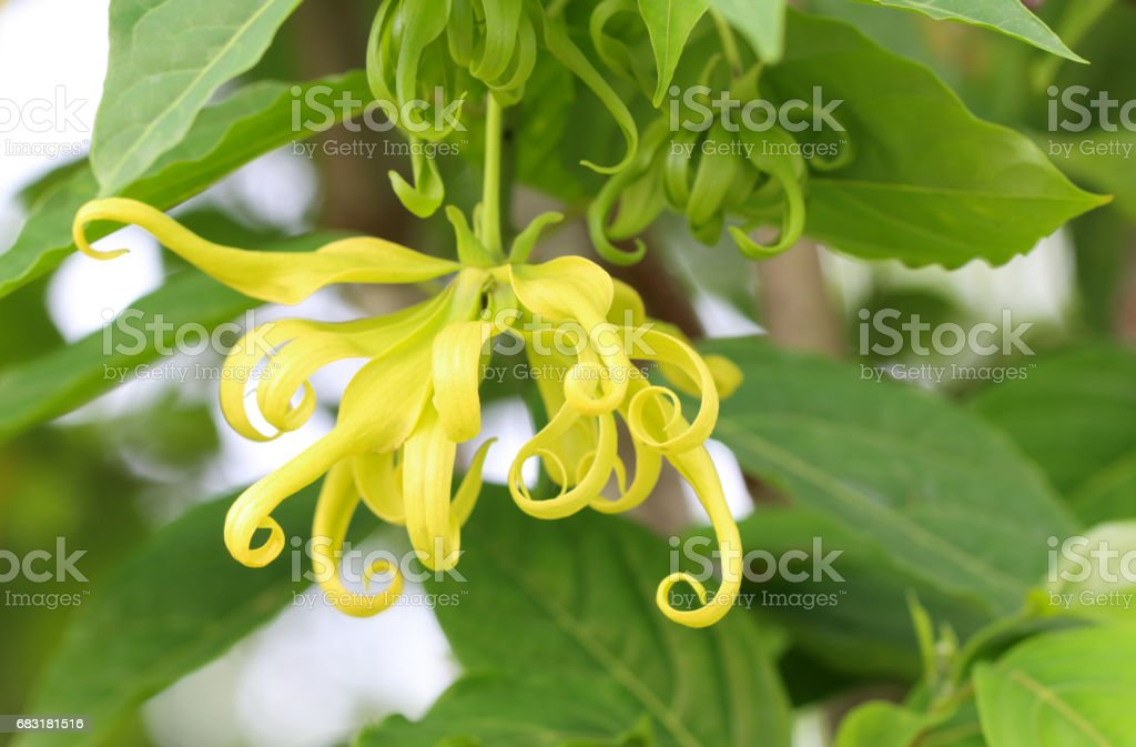 Ylang-Ylang Flower royalty-free 스톡 사진