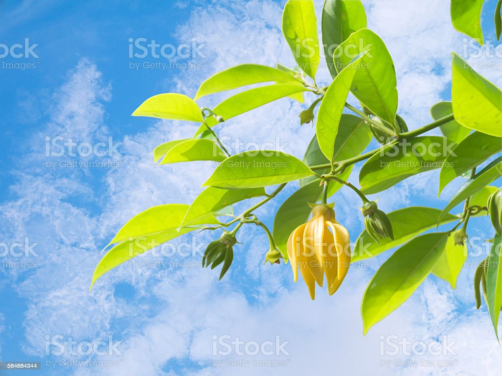 Ylang-ylang flower with leaf against blue sky and cloud – Foto