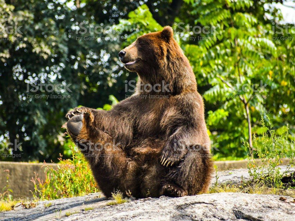 Yoga Bear royalty-free stock photo
