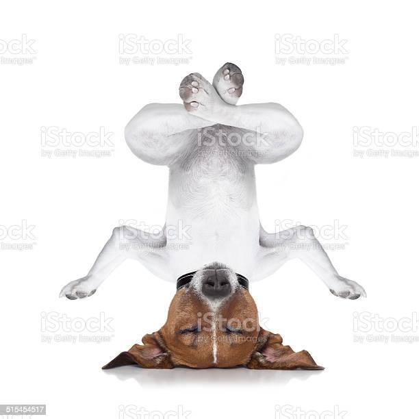 Yoga dog picture id515454517?b=1&k=6&m=515454517&s=612x612&h=e3 bgw60qgodyoqb9fywmgx tj4tbaptykvovtazeso=