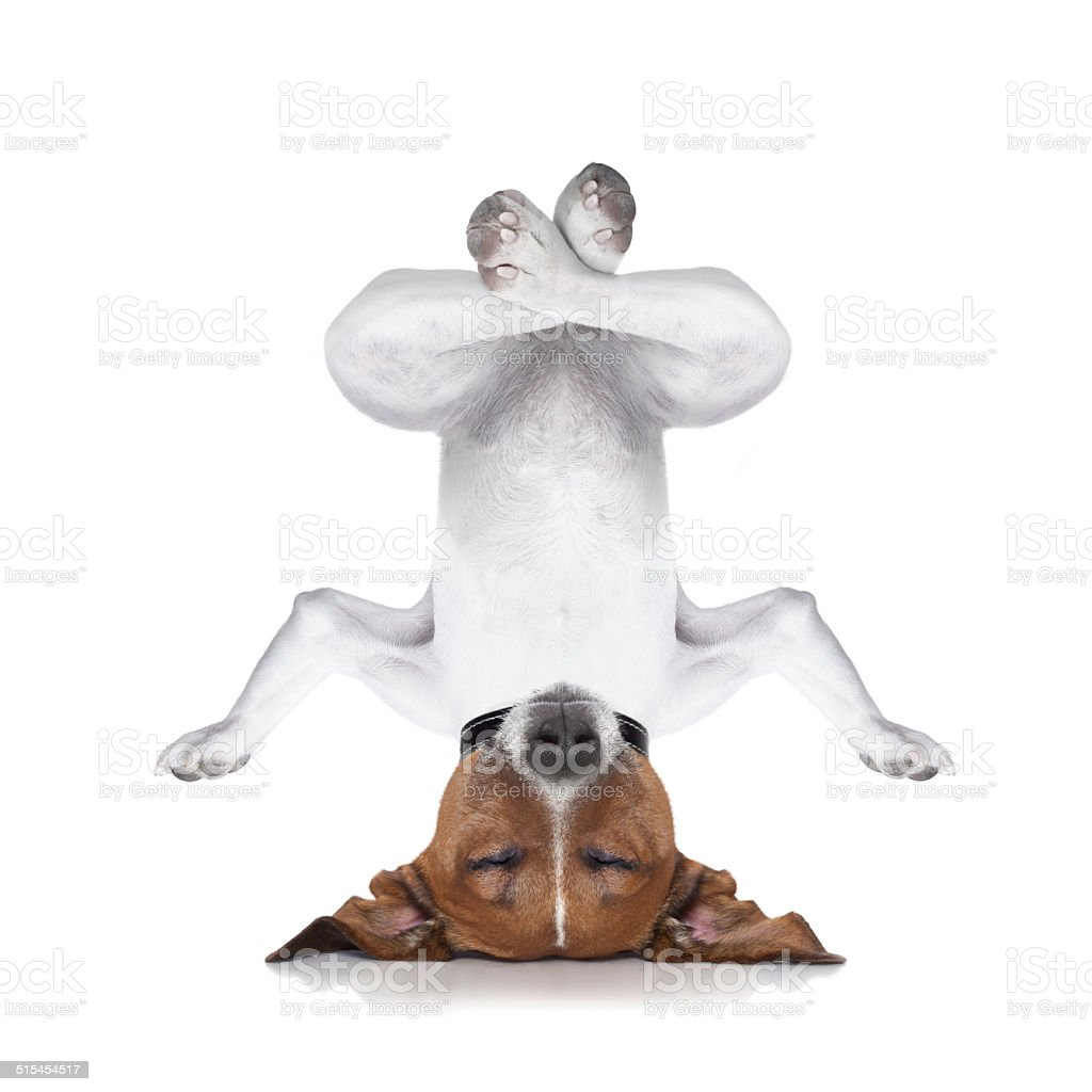 yoga dog stock photo