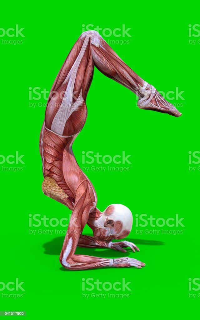 Fotografía de Yoga Plantean Figura De Anatomía Femenina y más banco ...