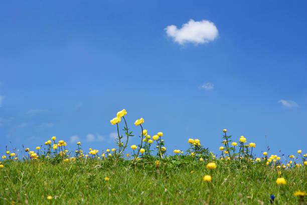 Yolk flowers against a blue sky stock photo