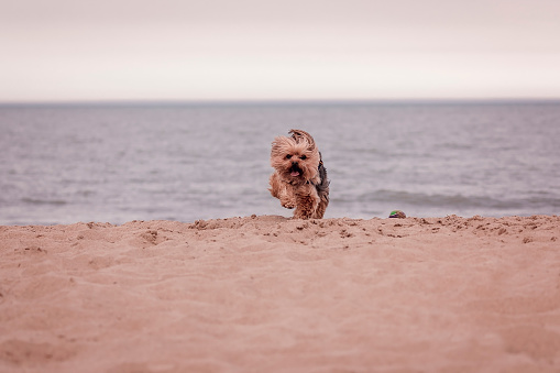 York dog playing on the beach.
