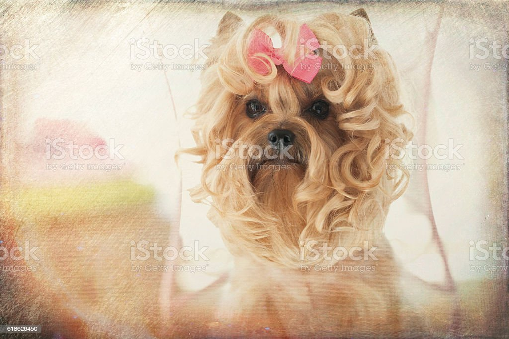Yorkie at the Beauty Spa Pet Grooming Salon with a new hairstyle,...