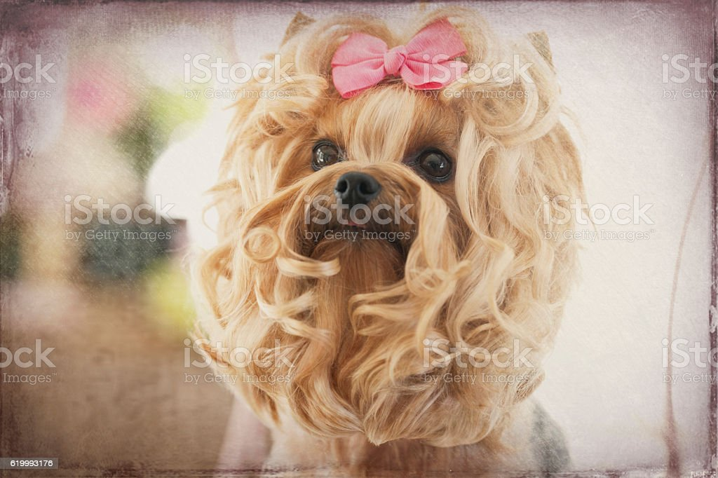 Yorkie At The Beauty Spa Pet Grooming Salon New Haircut Stock Photo