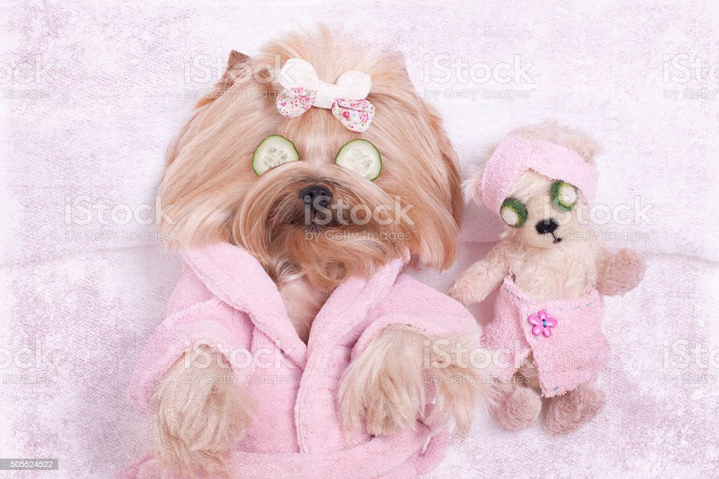 Yorkshire terrier dog and teddy bear friend getting massages at the...