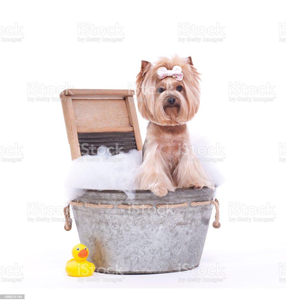 Yorkie Cane In Una Vasca Da Bagno Alla Toelettatura Per Cani ...