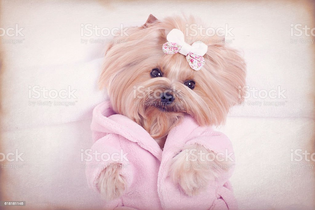Yorkshire terrier dog dressed in a robe and all ready for her massage...