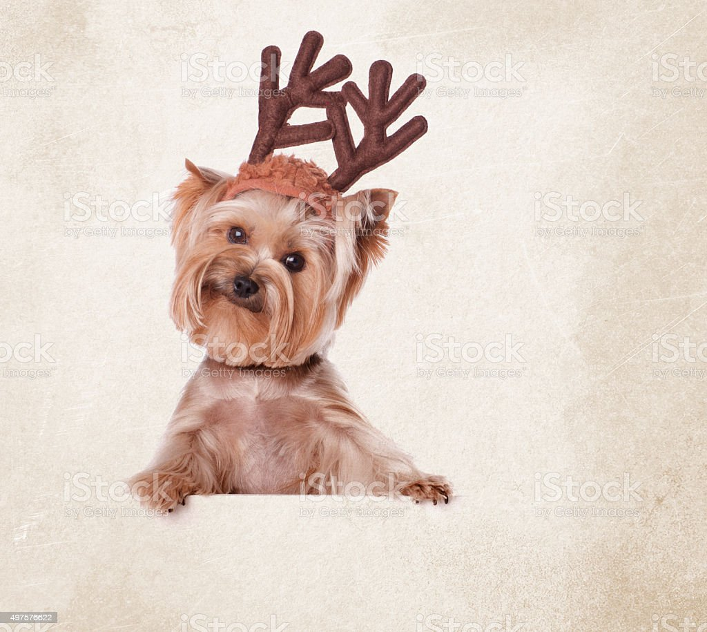 Yorkie Dressed Up For Christmas With Antlers stock photo