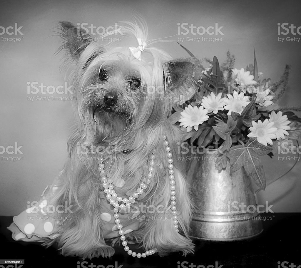 Yorkie Girl In Pretty Dress And Pearls Stock Photo Download Image Now Istock