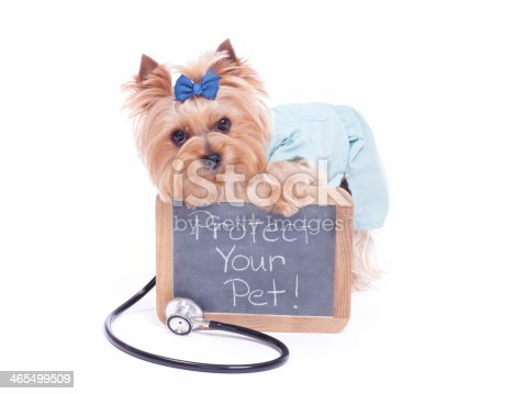 Yorkshire Terrier holding a chalk board with a stethoscope around her neck.