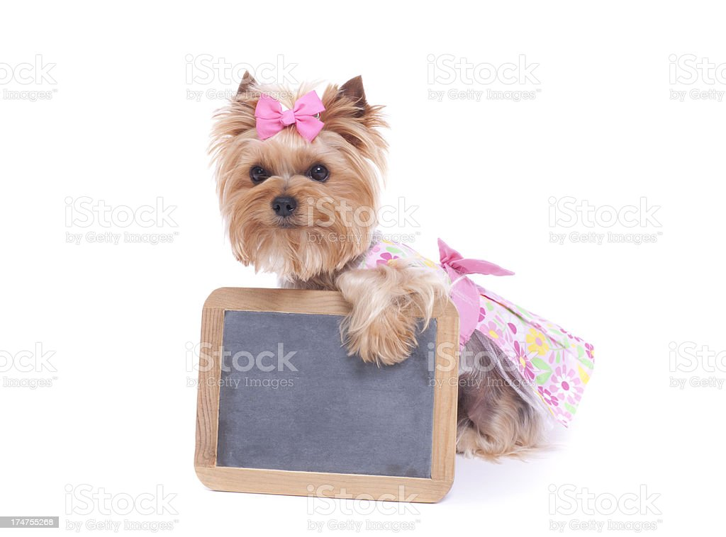 Yorkie holding a blank sign royalty-free stock photo