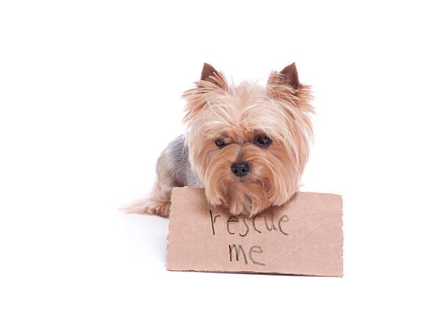 yorkie hält ein rescue me-schild - hunde aus dem tierheim stock-fotos und bilder