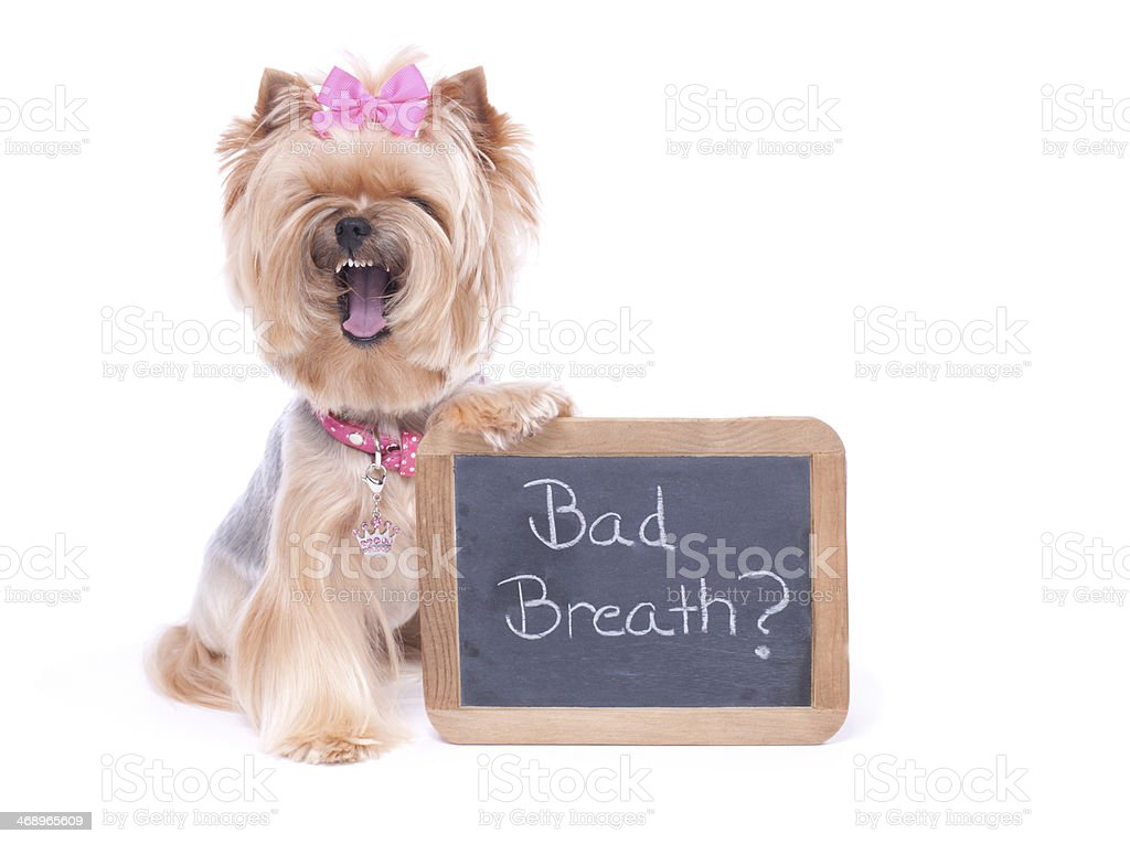 Yorkie Holding Blank Chalk Board royalty-free stock photo