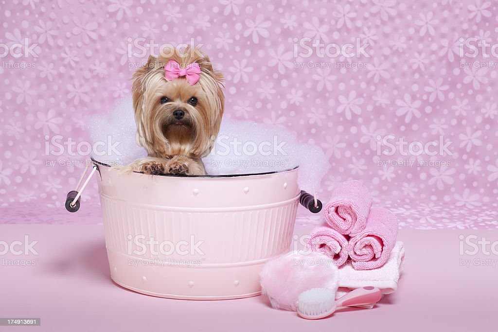 Yorkie in a bubble bath royalty-free stock photo