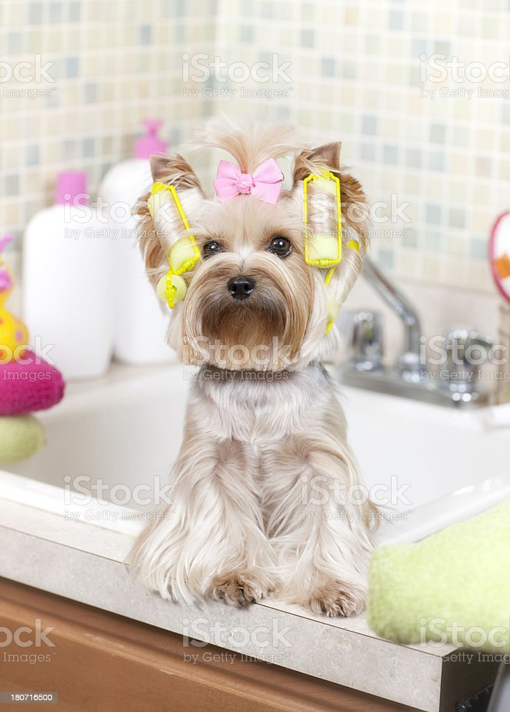 Yorkie in curlers royalty-free stock photo