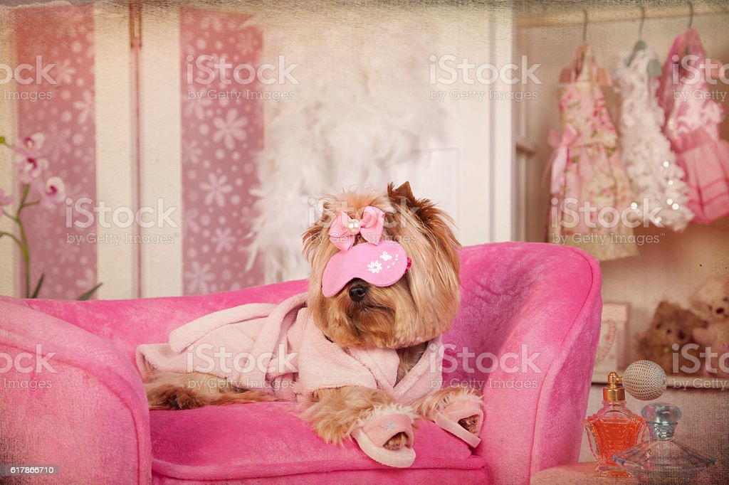 Yorkie in Pink Robe and Slippers at Grooming Salon Spa stock photo