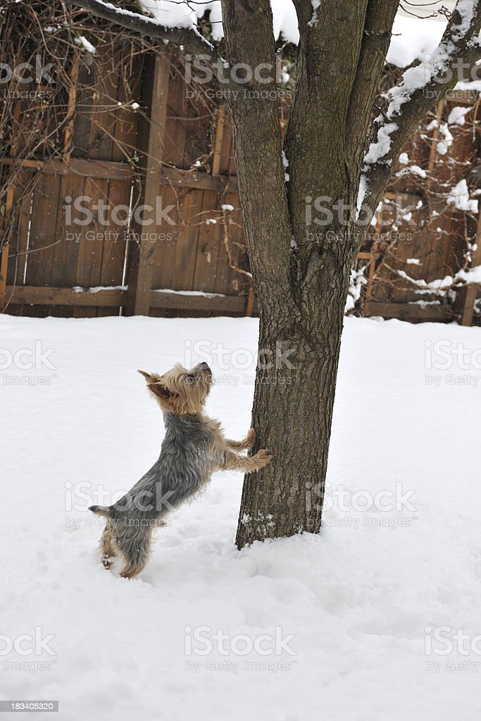 Yorkie In Snow Barking Up The Tree Stock Photo More Pictures Of