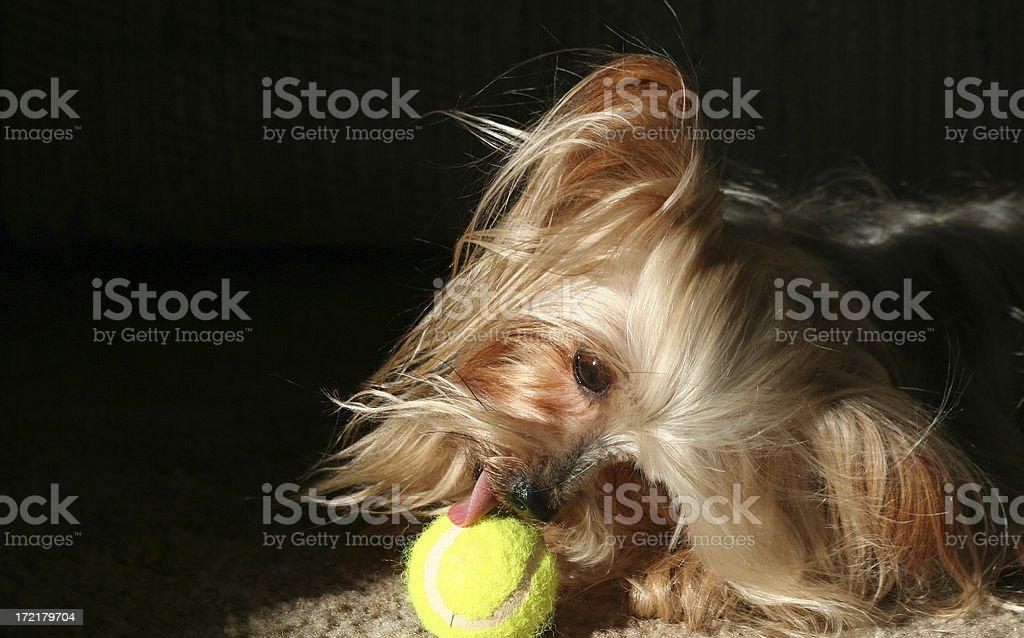 Yorkie licking tennis ball royalty-free stock photo