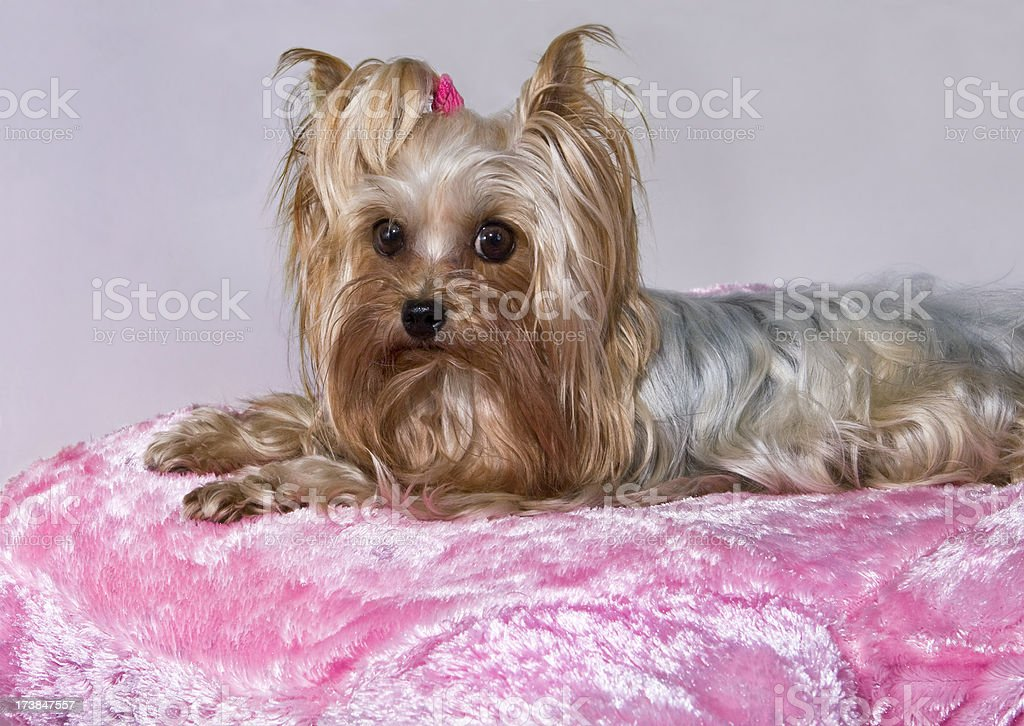 Yorkie on Pink Pillow royalty-free stock photo
